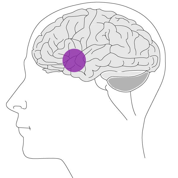 Illustration of how the therapeutic aromas of Young Living essential oils stimulate the limbic lobe and hypothalamus in the brain